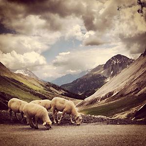 mouton-isolation2.jpg