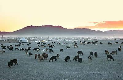 troupeau steppe Mongolie